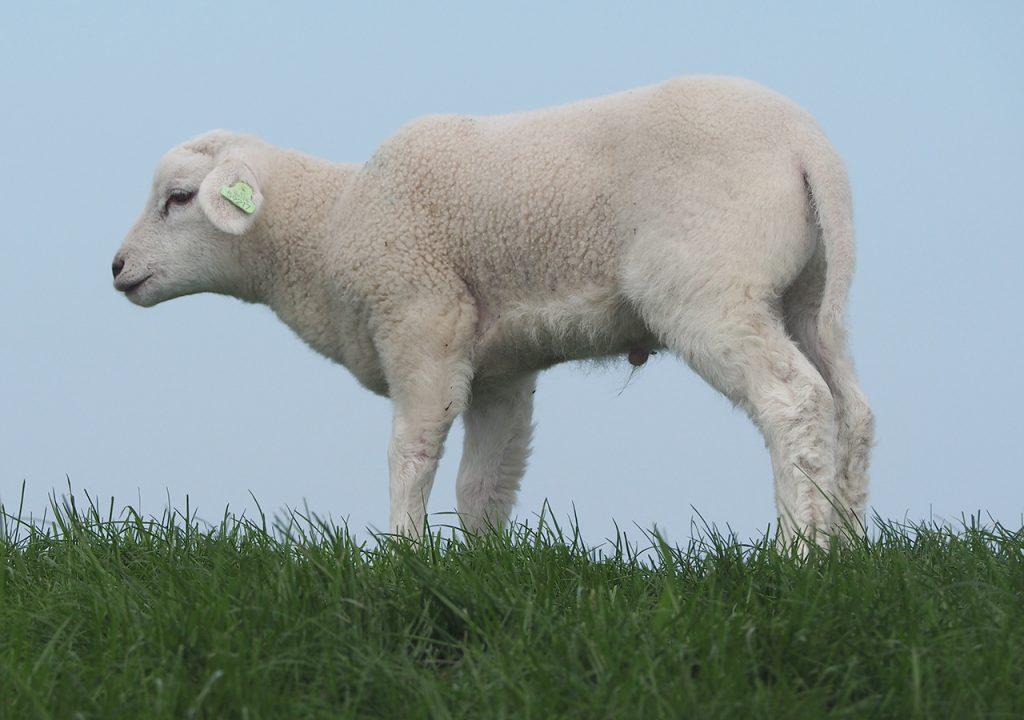 Lamm auf Terschelling nach ©muellerinart